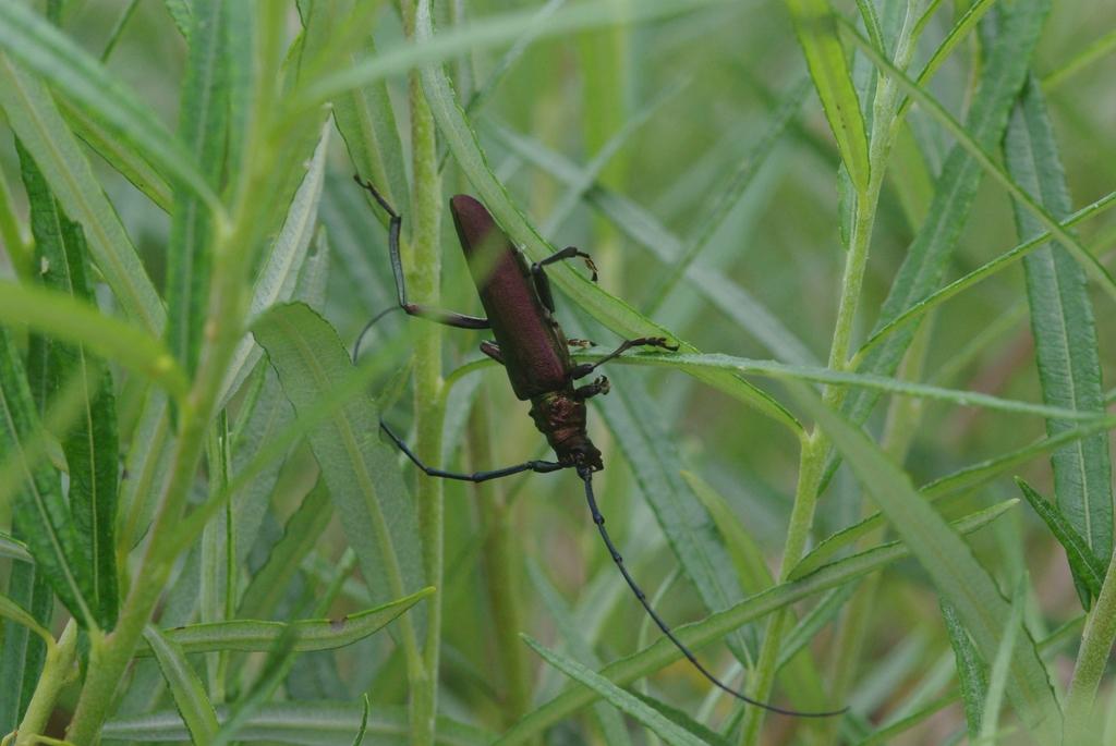 Le capricorne musqu un insecte remarquable codex virtualis for Insecte du bois capricorne